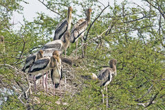 Indian painted storks Royalty Free Stock Photo