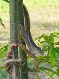 Indian palm squirrel Royalty Free Stock Photos