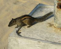 The Indian palm squirrel Stock Photography