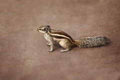 Indian palm squirrel on brown background Royalty Free Stock Image