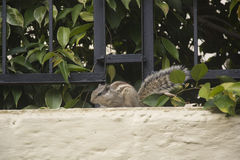 An Indian Palm Squirrel Royalty Free Stock Images