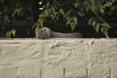An Indian Palm Squirrel Royalty Free Stock Photography