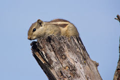 Indian palm squirrel on a dead tree. Indian palm squirrel sitting on a dead tree on a sunny day Stock Photo