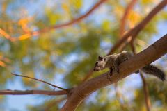 Indian palm squirrel royalty free stock photo