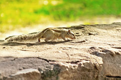 Indian palm squirrel (Funambulus palmarum) Stock Photos