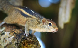 Indian palm squirrel (Funambulus palmarum) - rodent of the family Sciuridae Stock Images