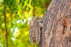 Indian palm squirrel (Funambulus palmarum) Stock Image