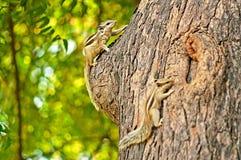 Indian palm squirrel (Funambulus palmarum) Royalty Free Stock Images