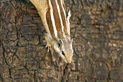 Indian palm squirrel Funambulus palmarum Royalty Free Stock Photography