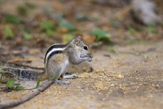 A Indian palm squirrel  ( Funambulus palmarum) royalty free stock photo