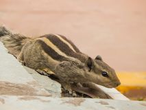 Indian palm squirrel having three stripes on a wall. stock photography