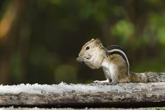 Indian palm squirrel in Minneriya, Sri Lanka Royalty Free Stock Image