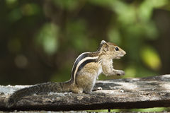 Indian palm squirrel in Minneriya, Sri Lanka Royalty Free Stock Photography