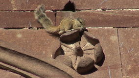 Indian Palm Squirrel  on ornamental house wall, India. Indian Palm Squirrel sitting on ornamental house wall, India stock footage