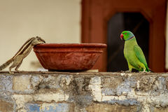 Indian Palm squirrel and parrot spotted together in summer Stock Image