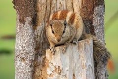 Indian palm squirrel sitting in the garden of Taj Mahal complex. In Agra, Uttar Pradesh, India Stock Photo