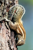 Indian Palm Squirrel Stock Images