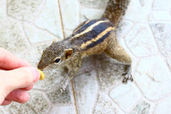 Indian palm squirrel takes a nut from a hand Royalty Free Stock Photo