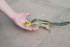 Indian palm squirrel takes sweets from hand Royalty Free Stock Photos