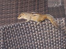 An Indian palm squirrel on a terrace Stock Image