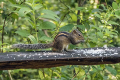 Indian palm squirrel ( three-striped palm squirrel à Stock Photography