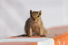 Indian palm squirrel or three-striped palm squirrel Stock Photo