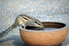 Squirrel drinking water in a pot royalty free stock photography