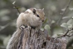 Indian palm squirrel or three-striped palm squirrel sitting on a Stock Image