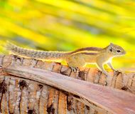 Indian palm squirrel on a tree in a early morning from stock photo