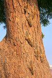 Indian palm squirrels on a tree in Agra Fort, Uttar Pradesh, Ind Royalty Free Stock Image