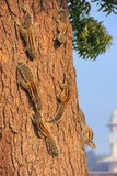 Indian palm squirrels on a tree in Agra Fort, Uttar Pradesh, Ind Royalty Free Stock Photo