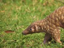 Indian pangolin. Manis crassicaudata walking Royalty Free Stock Photo