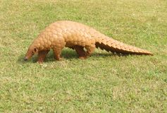 The Indian Pangolin royalty free stock image