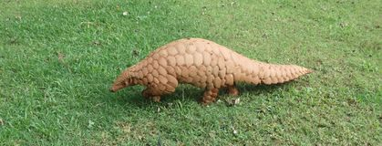 Indian Pangolin walking stock photos