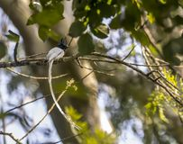 The Indian paradise flycatcher or Terpsiphone paradisi. The Indian paradise flycatcher is a medium-sized passerine bird native to Asia that is widely distributed royalty free stock images