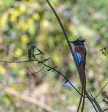 Rufous morph Indian paradise flycatcher or Terpsiphone paradisi. The Indian paradise flycatcher is a medium-sized passerine bird native to Asia that is widely royalty free stock image