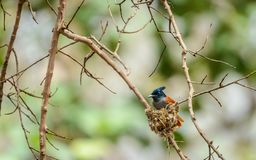 Indian Paradise Flycatcher and nest royalty free stock photo