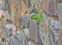 Indian parakeet Stock Photography