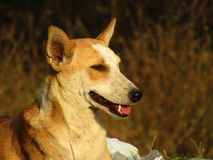 The Indian pariah dog Canis lupus familiaris. The Indian pariah dog Canis lupus familiaris  sitting on the grass Royalty Free Stock Photos