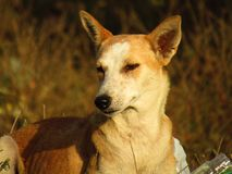The Indian pariah dog Canis lupus familiaris. The Indian pariah dog Canis lupus familiaris sitting on the grass stock photos