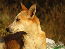 The Indian pariah dog Canis lupus familiaris. The Indian pariah dog Canis lupus familiaris  sitting on the grass Stock Photos