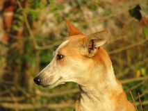 The Indian pariah dog Canis lupus familiaris. The Indian pariah dog Canis lupus familiaris sitting on the grass stock photo