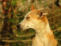 The Indian pariah dog Canis lupus familiaris. The Indian pariah dog Canis lupus familiaris sitting on the grass royalty free stock photography