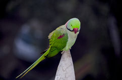 Indian parrot annulate sits on a building spike Royalty Free Stock Images