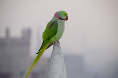 Indian parrot annulate sits on a building spike Stock Photo