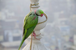 Indian parrot annulate sits on a building spike Royalty Free Stock Photography