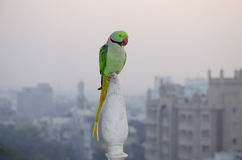 Indian parrot annulate sits on a building spike Stock Images