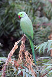 Indian parrot Stock Images