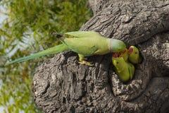 Parrot feeding little Stock Photo