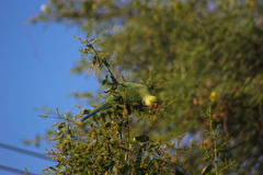 Indian Parrot Royalty Free Stock Photo